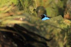 Asian fairy-bluebird Stock Photos