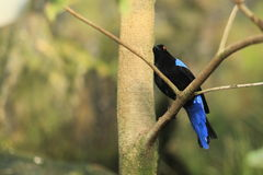 Asian fairy-bluebird Royalty Free Stock Photo