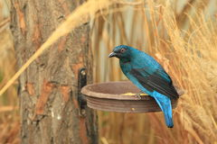 Asian fairy-bluebird Stock Image