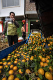 Asian farm worker unloads crop of oranges in cleansing bath. Royalty Free Stock Photo