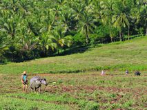Asian farmer. Ploughs his land with a water-buffalo. Palm-trees background royalty free stock photos