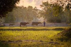 Asian Farmer and Buffalo are walking on the field royalty free stock image