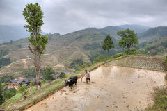 Asian farmer with bull plowing flooded rice fields. Stock Photo