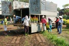 Asian farmer harvest, flower, trader transport. NAI, VIET NAM- FEB 13: Group of Asian farmer harvest chrysanthemum flower on agriculture farmland for spring crop royalty free stock images