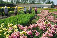 Asian farmer harvest, flower, trader transport. NAI, VIET NAM- FEB 13: Group of Asian farmer harvest chrysanthemum flower on agriculture farmland for spring crop stock image