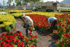 Asian farmer harvest, flower, trader transport. NAI, VIET NAM- FEB 13: Group of Asian farmer harvest chrysanthemum flower on agriculture farmland for spring crop stock images