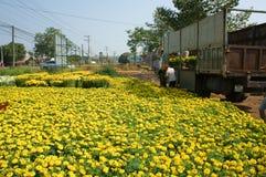Asian farmer harvest, flower, trader transport. NAI, VIET NAM- FEB 13: Group of Asian farmer harvest chrysanthemum flower on agriculture farmland for spring crop stock photography