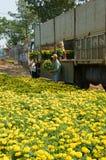 Asian farmer harvest, flower, trader transport. NAI, VIET NAM- FEB 13: Group of Asian farmer harvest chrysanthemum flower on agriculture farmland for spring crop royalty free stock photo