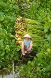 Asian farmer harvest water hyacith Royalty Free Stock Photos