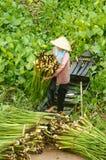 Asian farmer harvest water hyacith Stock Image