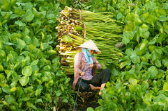 Asian farmer harvest water hyacith Stock Photo
