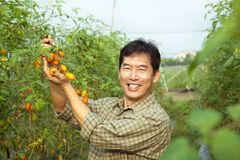 Free Asian Farmer Holding Tomato Royalty Free Stock Image - 23094136