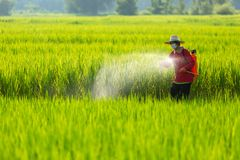 Asian farmer peasantry spraying pesticides in rice fields.  stock image