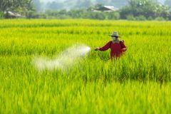 Asian farmer peasantry spraying pesticides in rice fields.  royalty free stock photography