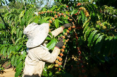 Asian farmer pick coffee bean Royalty Free Stock Photos