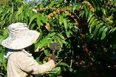 Asian farmer pick coffee bean Stock Photography