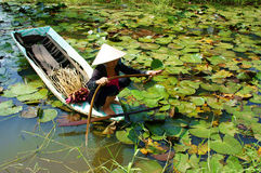 Asian farmer, pick water lily, Vietnamese food. DONG THAP, VIET NAM- SEPT 23: Asian farmer sitting on row boat, pick water lily, one food from nature, aquatic Royalty Free Stock Images