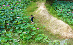 Asian farmer picking lotus flower, flora pond Stock Image