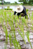 Asian farmer planting rice in field Stock Photography