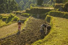 Asian farmer plows rice field with buffaloes. A asian farmer plows rice field with buffaloes royalty free stock photos