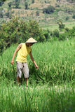 Asian farmer at rice field. Smiling royalty free stock image