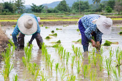 Asian Farmer rice green plant at work Royalty Free Stock Photo