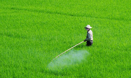 Asian farmer spraying pesticide in paddy field Royalty Free Stock Photos
