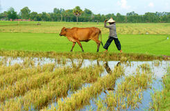 Asian farmer tend cow on rice plantation. MEKONG DELTA, VIET NAM- SEPT 20: Asian farmer tend cow on rice plantation, ox, woman reflect on water, paddy field in royalty free stock image