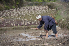Asian farmer tills the land paddy fields using hack, China. Royalty Free Stock Photo
