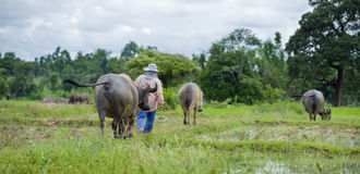 Asian farmer with water buffaloes Stock Photo