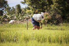 Asian farmer is withdrawn seedling and kick soil flick of Before the grown in paddy field,Thailand royalty free stock image