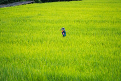 Asian farmer working in the rice field Stock Images