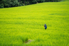 Asian farmer working in the rice field Stock Photo