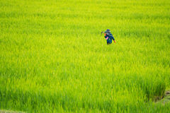 Asian farmer working in the rice field Royalty Free Stock Image