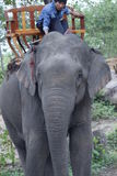 Asian female elephant Lao . Pdr 3 Royalty Free Stock Photo