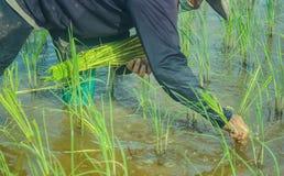 Asian female farmer planting rice in field. Stock Photo