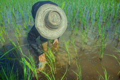 Asian female farmer planting rice in field. Royalty Free Stock Photos
