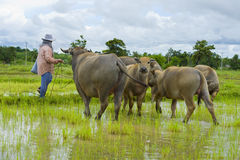 Asian female farmer taking care of water buffalos Stock Photos