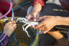 Asian fisherman taking spider crab. From fishing trip stock photography