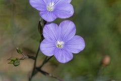 Asian Flax Linum austriacum stock photo