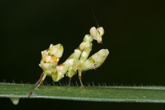 An asian flower mantis Stock Images