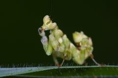 An asian flower mantis Stock Photos