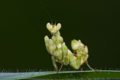 Asian flower mantis Stock Image