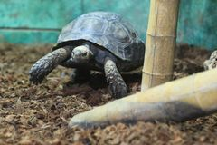 Asian forest tortoise Stock Images