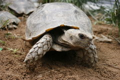 Asian forest tortoise (Manouria emys), also known as Asian brown tortoise, is a species of tortoise found in India (Assam), Bangla Stock Photos