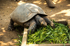 Asian forest tortoise. Asian forest torroise eat morning glory in zoo Royalty Free Stock Photos