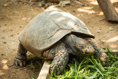 Asian forest tortoise. Asian forest torroise eat morning glory in zoo Royalty Free Stock Photography