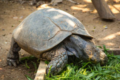 Asian forest tortoise. Asian forest torroise eat morning glory in zoo Stock Images