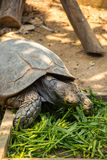 Asian forest tortoise. Asian forest torroise eat morning glory in zoo Royalty Free Stock Photo