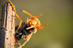 Asian giant hornet Royalty Free Stock Photography